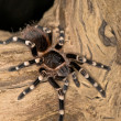 White Knee Spider — Stock Photo