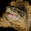 Florida Snapping Turtle - Stock Photo