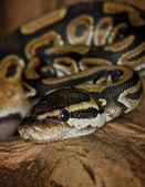 Pastel Royal Python - Python regius — Stock Photo