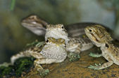 Bearded Dragons - Pogona — Stock Photo