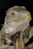 Green Iguana - Iguana iguana — Stock Photo
