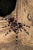 белый колен паук — Стоковое фото