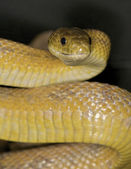 Texas Rat Snake — Stockfoto