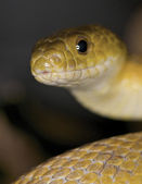 Texas rat snake — Foto Stock