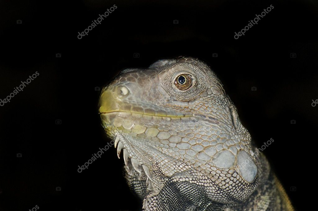 Green Iguana head against black background — Stock Photo #9183273