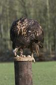 年轻的美国白头鹰 — 图库照片