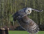Owl in Flight — Stock Photo