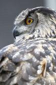 Owl in profile — Stock Photo