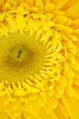 Macro of a yellow flower , flowers macro — Stock Photo