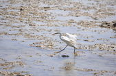 White egyptian heron — Stock Photo