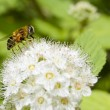 Honey bee feeding — Stock Photo