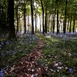 Stock Photo: Bluebell wood pathway