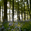 Bluebell wood sun back light — Stock Photo