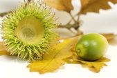 Acorn capule and leaves — Stock Photo