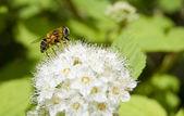 Honey bee feeding — Stock Photo