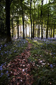 Bluebell wood pathway — Stock Photo