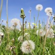 Stock Photo: Dandelion field