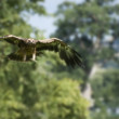 Flying golden eagle — Stock Photo
