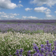 Stock Photo: Field of various types of Lavender from white to deep purple