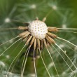 Dandelion in seed — Stock Photo #9015319