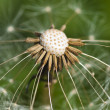 Dandelion in seed — Stock Photo