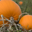 Stock Photo: Halloween pumpkins in field
