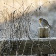 Winter robin — Stock Photo