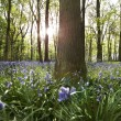 Stock Photo: Sun light penetrating Bluebell wood