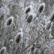 Winter thistles — Stockfoto
