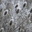 Stockfoto: Winter thistles