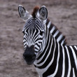 Gazing zebra — Stock Photo