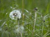 Dandelion and grasses — Stock Photo