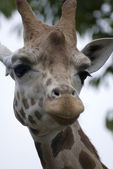 Handsome giraffe — Stock Photo