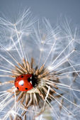 Ladybird on a dandelion — Stock Photo