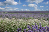 Field of various types of Lavender from white to deep purple — Stock Photo