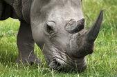 Grazing Rhino — Stock Photo