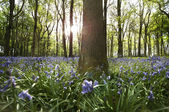 Sun light penetrating a Bluebell wood — Stock Photo