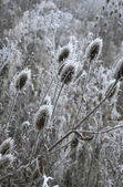 Winter thistles — Stock Photo