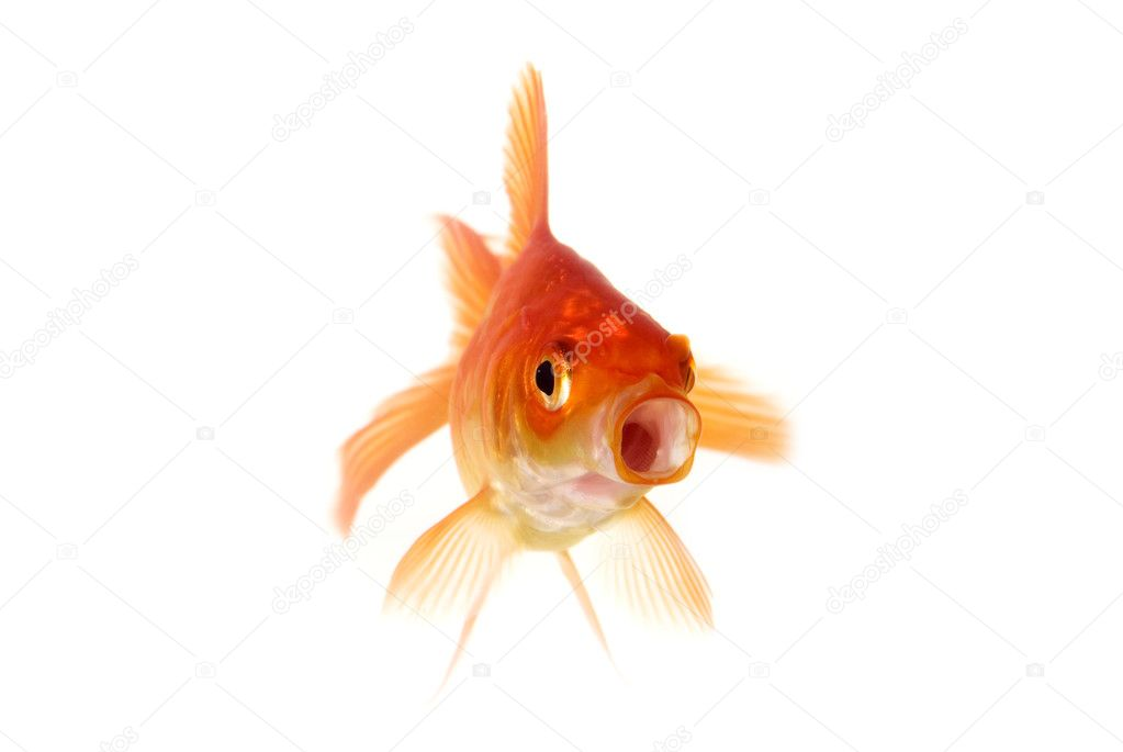Poisson rouge gawping photographie plampy 9010407 for Tarif poisson rouge