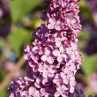 Branch of lilac - Stock Photo