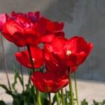 Tulip cleseup — Stock Photo #9797882