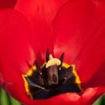 Tulip cleseup — Stock Photo #9797897