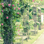 Climbing roses — Stock Photo #8957196