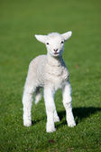 A lamb — Stock Photo