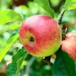 Red apples on an apple tree — Stock Photo