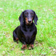Pedigree dachshund — Stock Photo