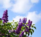 对天空的丁香花丛中 — 图库照片