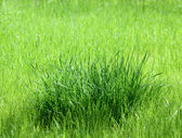 Bunch of lush green grass — Stock Photo