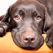 Chocolate Labrador Retriever dog - Stock Photo