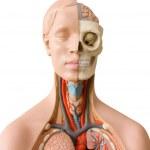 Human anatomy dummy — Stock Photo